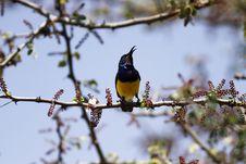 Free Variable Yellowbellied Sunbird Stock Photos - 23857333
