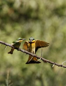 Free Feeding Little Bee-eaters Stock Photo - 23857360