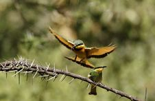 Free Feeding Little Bee-eaters II Stock Photography - 23857382