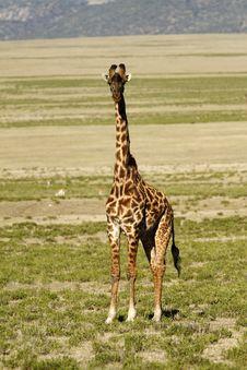 Free Male Maasai Giraffe Stock Image - 23857471