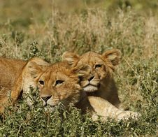 Free Serengeti Lion Cubs Royalty Free Stock Photography - 23857507