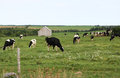 Free Cows Stock Image - 23864431