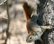Free Squirrel Stock Image - 23864451
