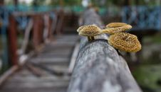 Mushrooms In The Pinewood. Royalty Free Stock Photo