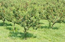 Free Cherries Orchard Royalty Free Stock Photos - 23867528