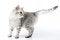Free Silver Scottish Kitten Royalty Free Stock Images - 23869409