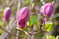 Free Close-up Of Color Magnolia Flower Royalty Free Stock Images - 23877169