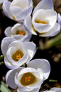 Free Crocuses - Sign Of Spring Royalty Free Stock Image - 23877346