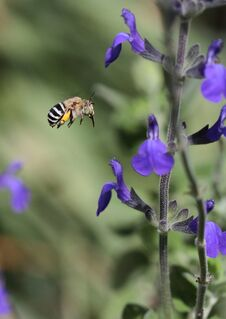 Blue Banded Bee Royalty Free Stock Photography