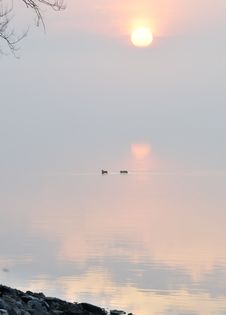 Free Ducks Feeding On Foggy Morning Royalty Free Stock Photos - 23870838