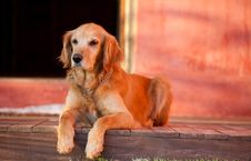 Free Golden Retriever Dog Royalty Free Stock Photo - 23872115