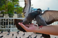 Angry Pigeons Fighting For Food On The Hand Stock Photo