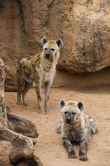 Free Hyena Mother And Cub Royalty Free Stock Photo - 23875705