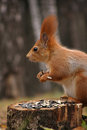 Free Squirrel With Harvest Stock Images - 23882534