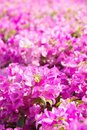 Free Bougainvillea Flower Royalty Free Stock Photos - 23886598