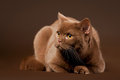Free British Cat Stock Photography - 23889782