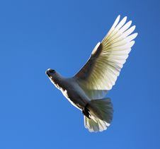 Free Corella Flying Stock Images - 23880334