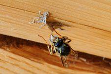 Free Wasp Royalty Free Stock Photos - 23882978
