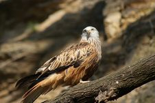 Free Red Kite On A Tree Royalty Free Stock Image - 23886576