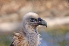 Free Griffon Vulture Stock Photography - 23886782