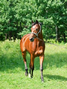 Free Beautiful Bay Sportive  Mare In Move Royalty Free Stock Photography - 23887277