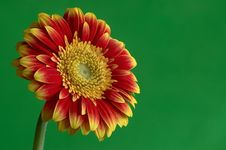 Free Gerber Flower Stock Images - 23887854