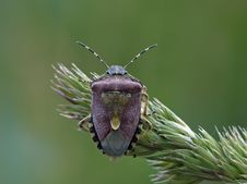 Free Sloe Bug Stock Photography - 23888082