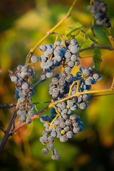 Free Red Bunches Of Grape &x28;4&x29;. Stock Images - 23888094