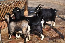Free Goats Feeding Stock Images - 23888354