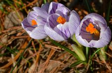 Common Crocus Royalty Free Stock Photo