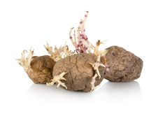 Free Sprouting Potato Stock Photo - 23889880