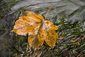 Free Yellow Leaf In The River Stock Photo - 23894110