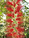 Free Bottle Brush Stock Photo - 23898170