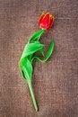Free Spring Tulip Flower Stock Photo - 23899960
