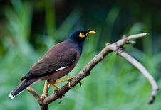 Free Common Myna Stock Photography - 23892972