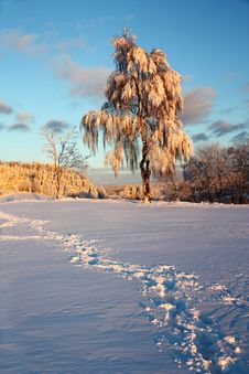 Free Birch In Winter Stock Photo - 23894070