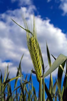 Free Green Wheat Royalty Free Stock Photos - 23896588