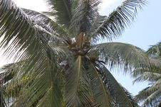 Free Coconut Tree Stock Image - 23898031