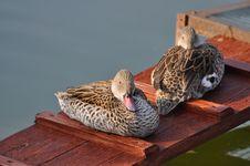Free Ducks Are Heated On The Sun Stock Photography - 23899912