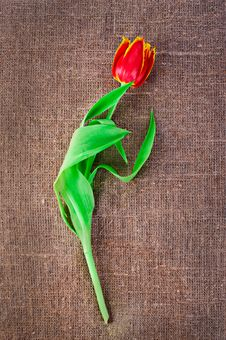 Spring Tulip Flower Stock Photo