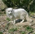 Free Polar Fox 3 Royalty Free Stock Photography - 2391447