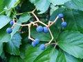 Free Dancing Berries Royalty Free Stock Image - 2392276