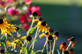 Free Black-Eyed Susan FLowers Royalty Free Stock Photography - 2392967