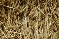 Free Plenty Of Wheat Spikes Royalty Free Stock Photo - 2396575