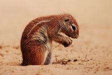 Free Ground Squirrel Stock Images - 2390194