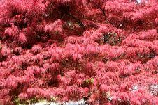 Free Japanese Maple Royalty Free Stock Photos - 2390428