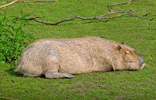Free Capybara Stock Photography - 2391442