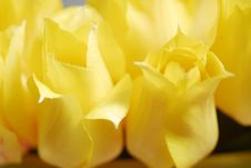 Free Yellow Tulips 18 Stock Photo - 2391590