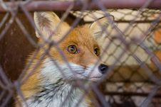Free Fox In The Cage Royalty Free Stock Images - 2392319