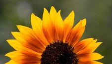 Free Sunflower-01 Stock Photo - 2392770